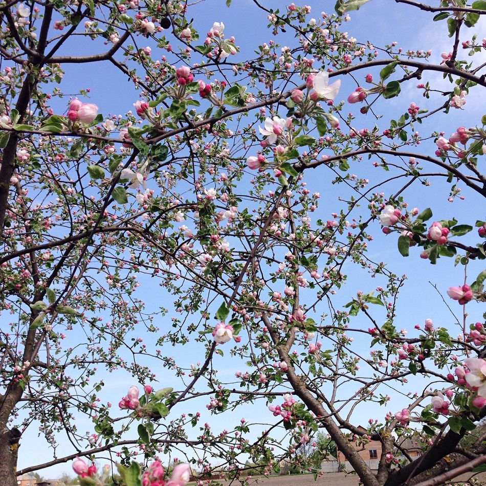 Apple Tree Apple Blossom April Spring Sky Taking Photos Beauty Nature Eye Em Around The World Open Edit Countryside EyeEm Nature Lover