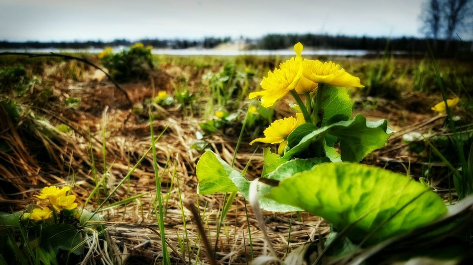 Spring Yellow Flowers Flowers Kabbleka Marsh Marigold Riverside River Nature Beauty Beautiful Check This Out The Great Outdoors With Adobe Hello World Hanging Out Eyeemphotography Popular Popular Photos Kalix Sweden Europe The Great Outdoors - 2016 EyeEm Awards