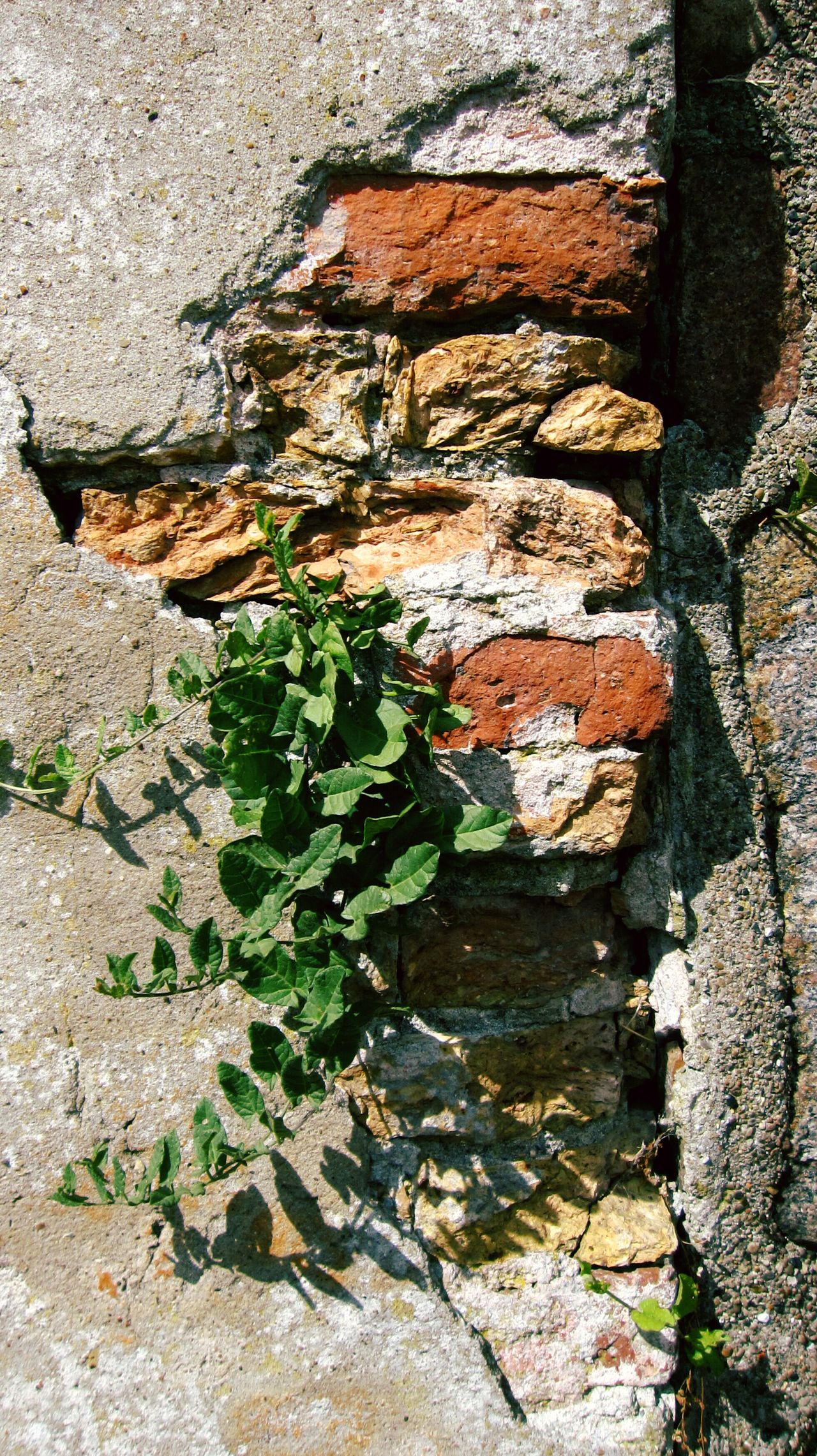 Adapted To The City Outdoors Close-up Day Nature Textured  Plant Backgrounds Sunlight Plant Photography No People Brick Brick Wall Bricks Brick Building Brickporn Brickwall Plant Rustic Denmark Danmark EyeEmNewHere Shadow Shadow And Light Shadowplay