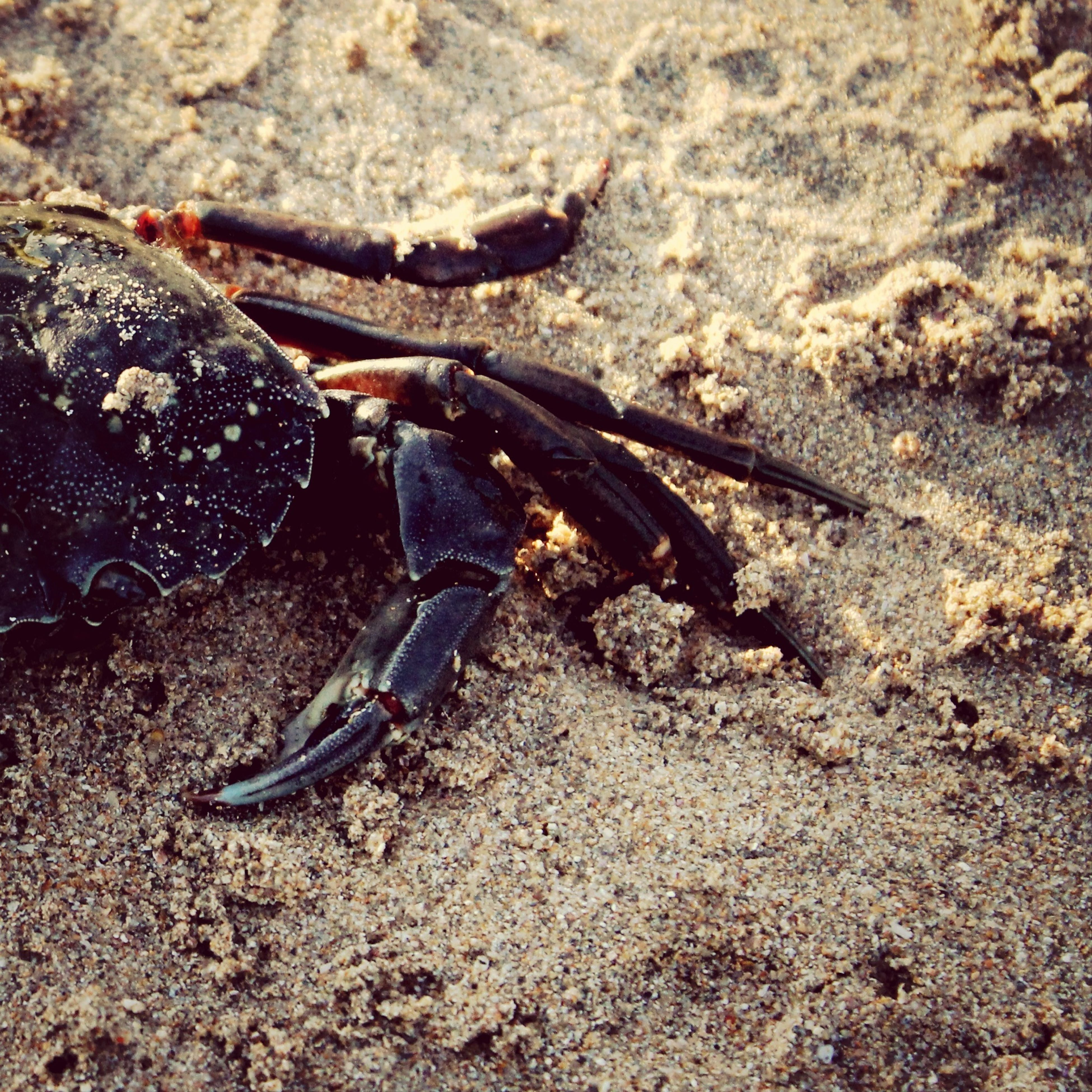 animal themes, animals in the wild, wildlife, one animal, high angle view, sand, beach, insect, nature, zoology, sea life, full length, day, outdoors, crab, dead animal, sunlight, close-up, rock - object, reptile