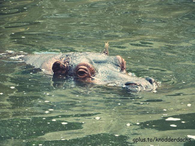 Nilpferd Hippo Hippopotamus Flusspferd