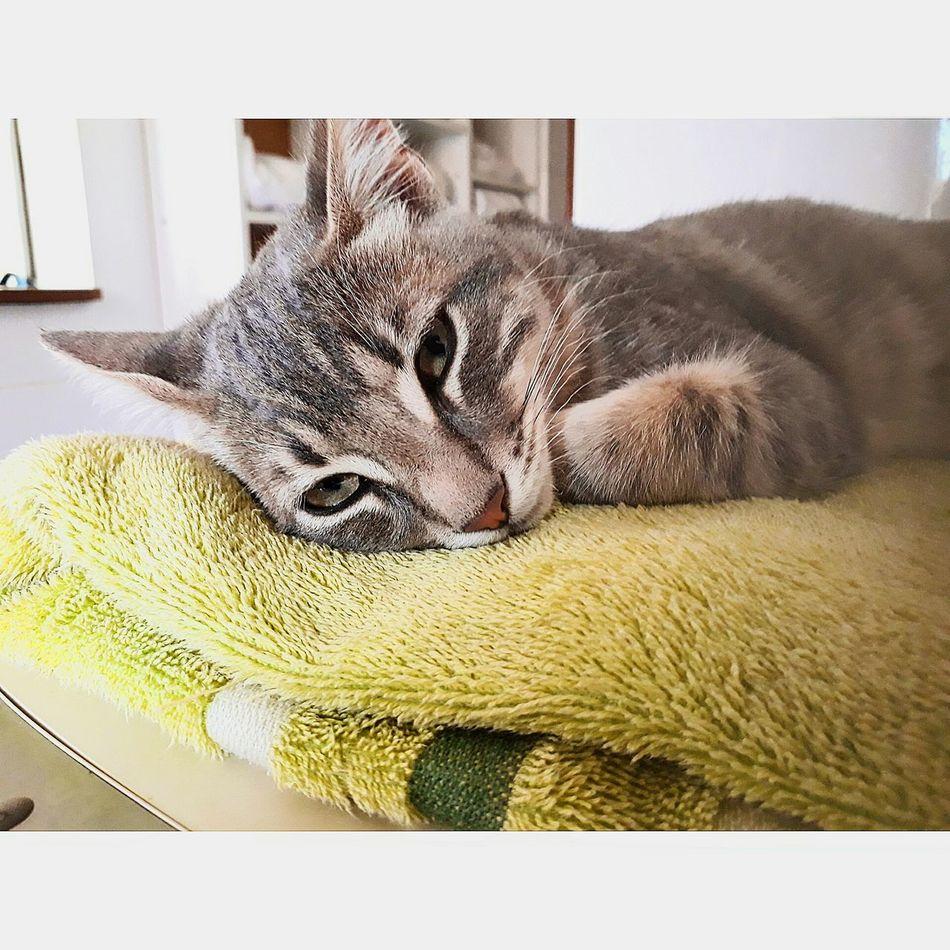 Bebé León 🐱. One Animal Pets Domestic Cat Feline Chilena Love Photography Instachile Cat Cats Catsofinstagram Cat Lovers Cat Photography Sleeping Sleepy Sleep Sleeping Cat Love Lovecats Babycats ❤️ Happy Happyness