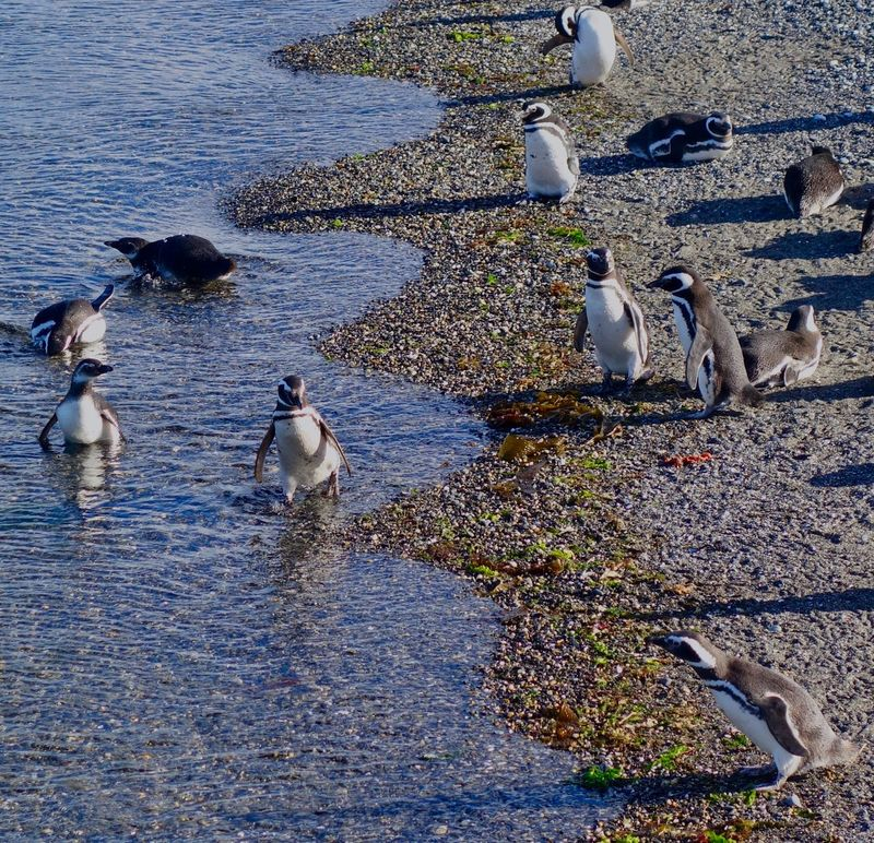 Patagonia Argentina Swimming Rocky Beach Sea Shore Aquatic Bird Large Group Of Animals Penguins Magallanic Penguin Bird Animals In The Wild Animal Themes Animal Wildlife Water Lake Large Group Of Animals Nature High Angle View No People Outdoors Beauty In Nature Day Togetherness