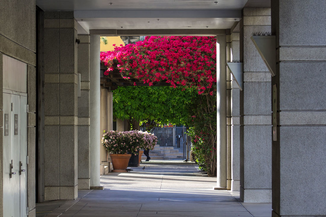 Scented Archway Architecture Flowers Pink Flowers Magenta Flowers Arch Downtown Los Angeles Losangeles