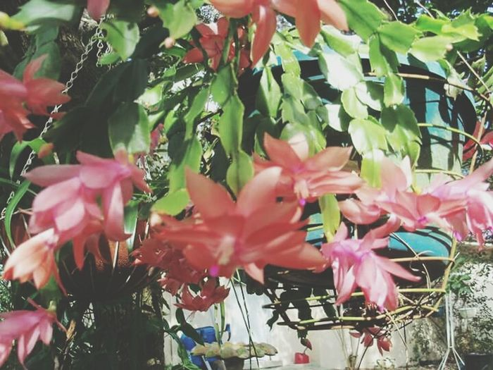 Salmon colored christmas cactus. Christmas Cactus Christmas Time Salmon Colored In Full Bloom Flowerporn Most Wonderful Time Of The Year!