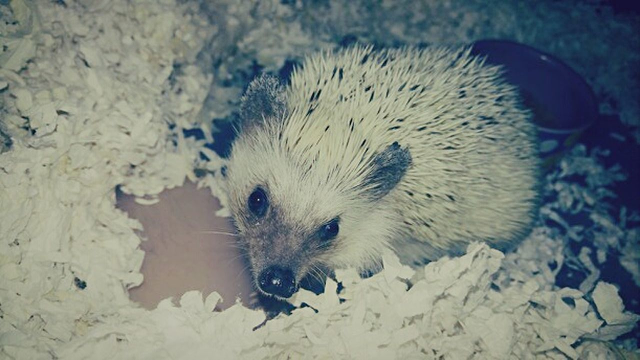 Holly Baby One Animal Hedgehog Animal Themes Animal Wildlife Mammal No People Nature Petsandanimals Pets Of Eyeem Pets Are Family EyeEmBestPics EyeEm Best Shots Colorado Photography Trulifephotoz Hedgehogs Check This Out! Animal Photography Pets