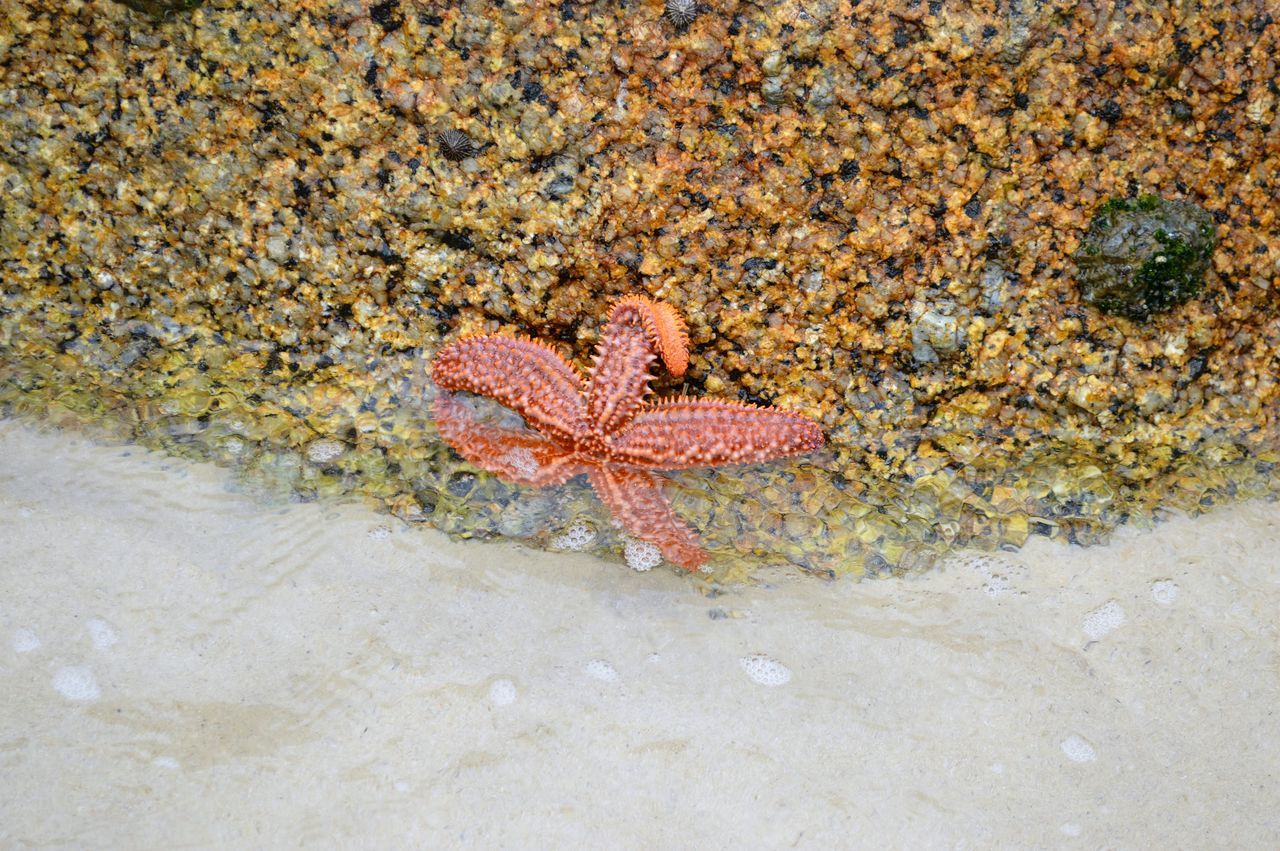 Starfish at Boulder's Beach Africa Beach Beachphotography Beauty In Nature Boulders Beach Cape Peninsula Nature Ocean Outdoors Patrick Star South Africa Starfish  Starfish At Beach Water