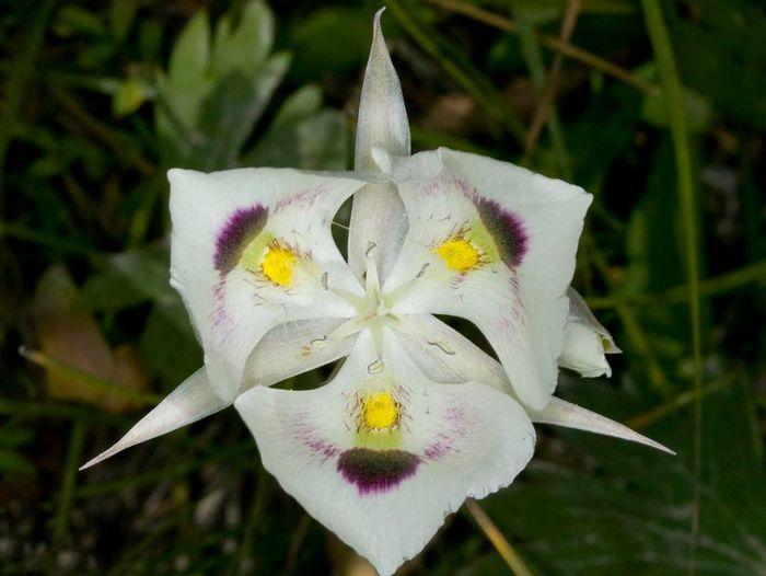White Mariposa Lily in Idaho Wildflower Mariposa Lily