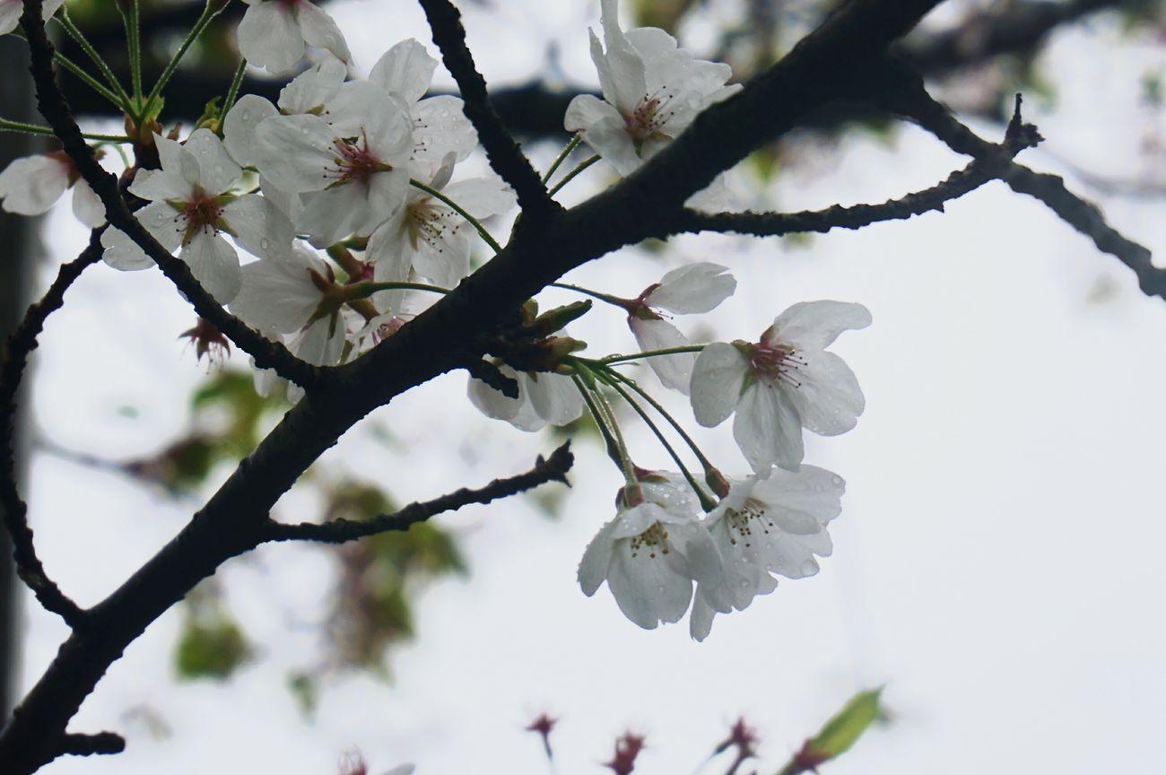 樱花到底是源于中国还是日本 鸡鸣寺 Nanjing Sakura