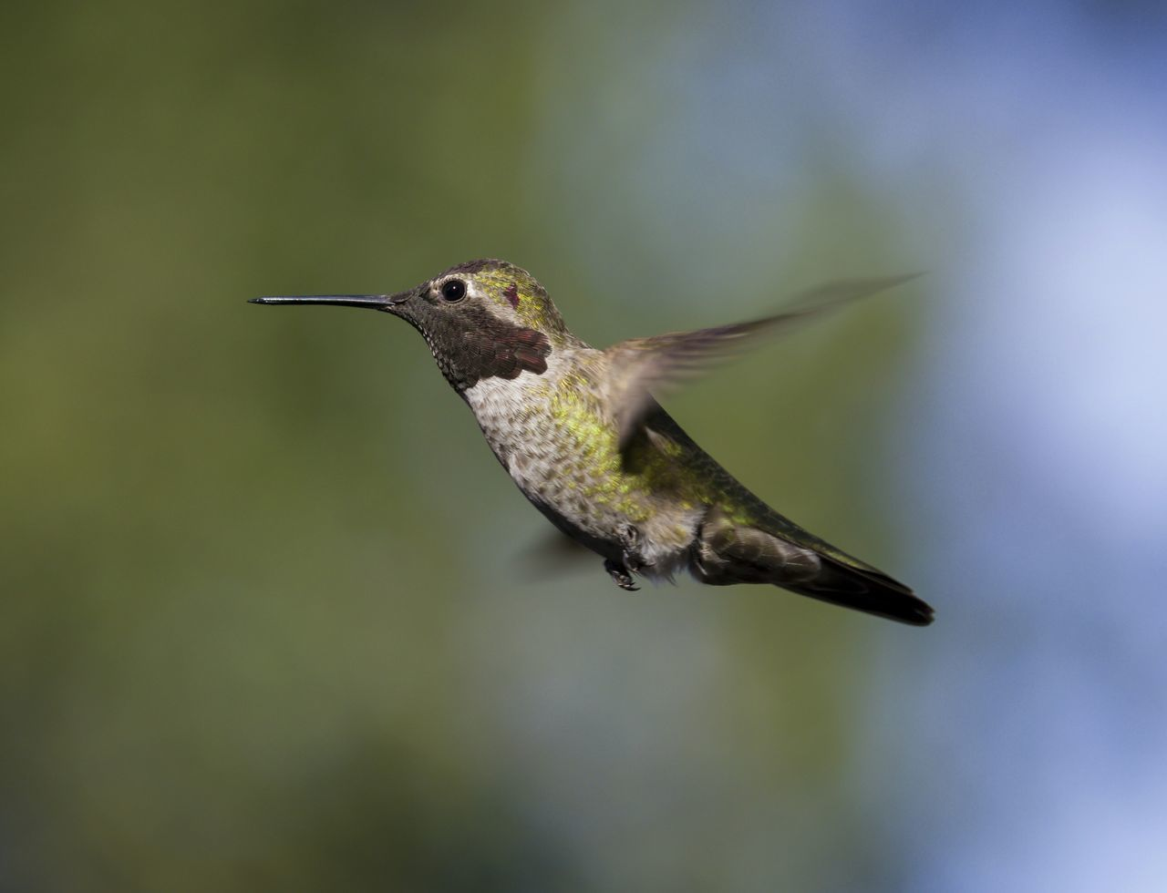 Beautiful stock photos of kolibri, Horizontal Image, Olive, animal themes, animals in the wild