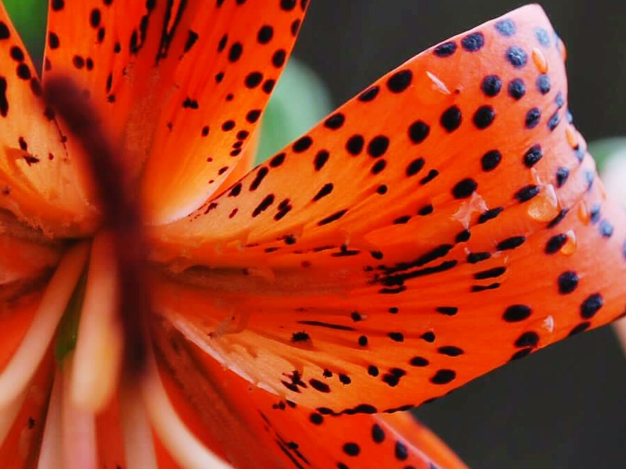 petal, close-up, flower head, no people, red, beauty in nature, freshness, nature, flower, fragility, plant, day, outdoors