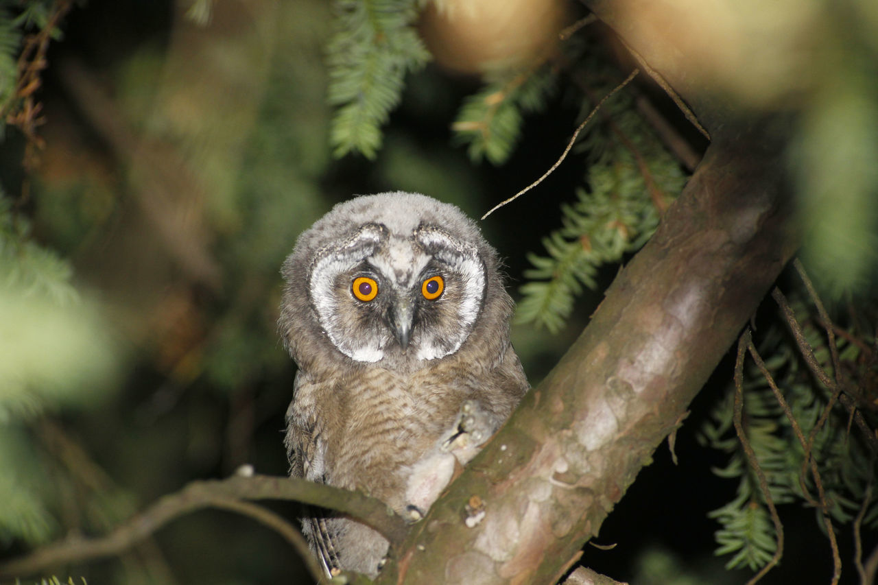 young owl , eagle owl, long eared owl. Animal Themes Animal Wildlife Animals In The Wild Bird Bird Of Prey Branch Close-up Day Eagle Owl  Juvenile Juvenile Birds Long Eared Owl Looking At Camera Nature No People One Animal Outdoors Owl Owl Eyes Owl Photography Owls Portrait Tree Young Young Owl