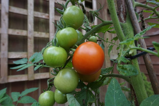 6340 Brown Close-up Day Fence Focus On Foreground Fragility Freshness Fruit Green Green Color Green Tomatoes Growth Leaf Loads Lots Nature No People Outdoors Red Red Tomatoes Tomato Tomatoes Toms Trelis