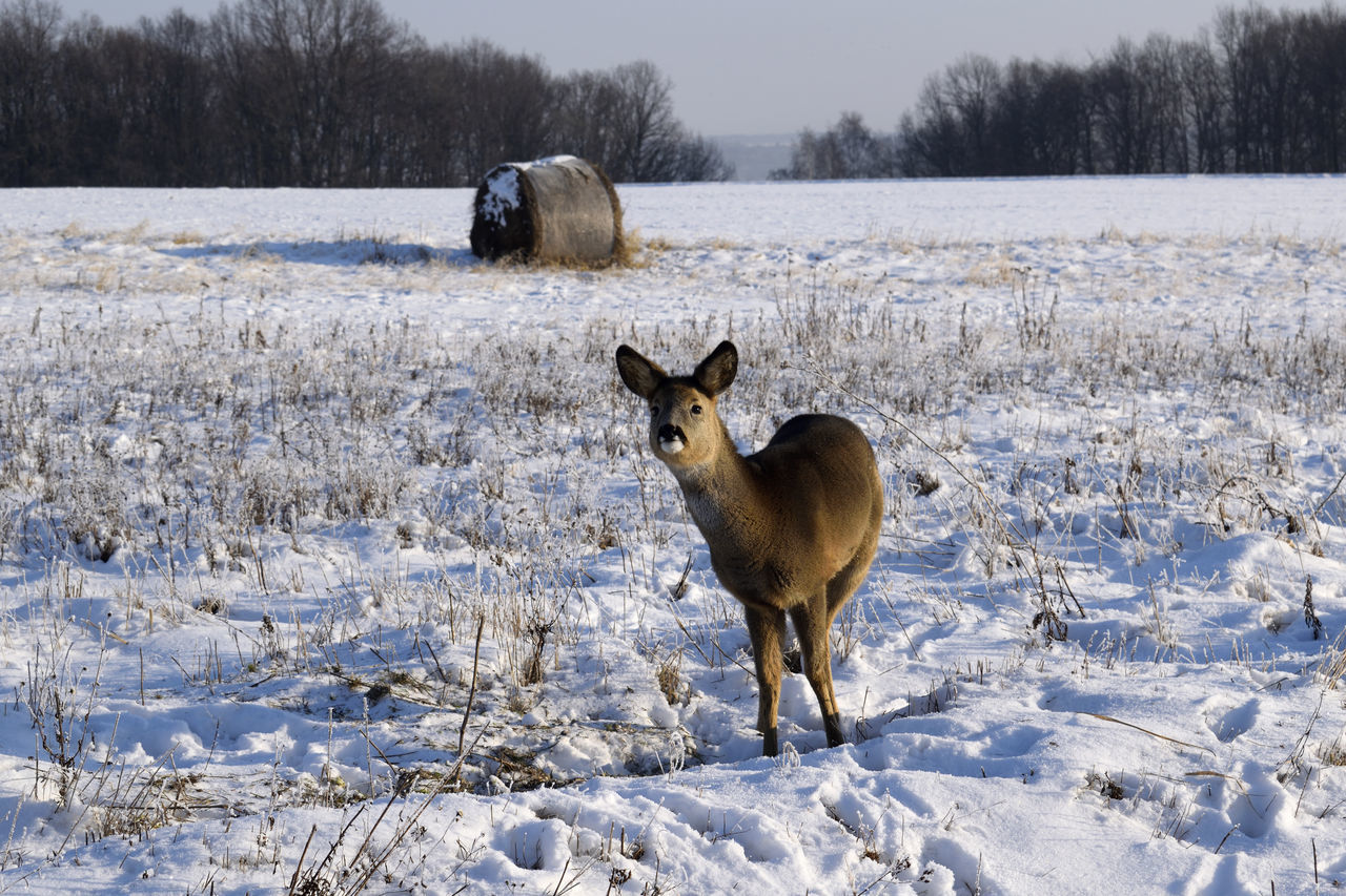 Roe deer Animal Themes Animal Wildlife Animals In The Wild Beauty In Nature Cold Temperature Day Deer Field Frozen Nature No People Roe Deer Snow Winter
