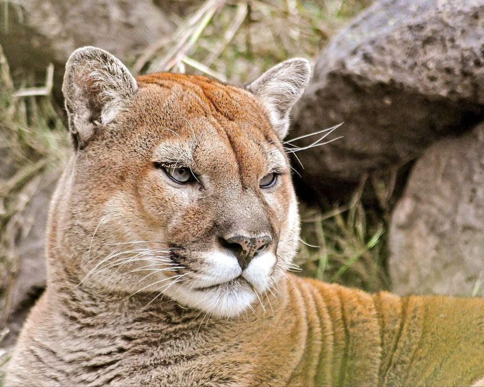 Beautiful stock photos of puma, Alertness, Animal Head, Animal Themes, Animals In The Wild