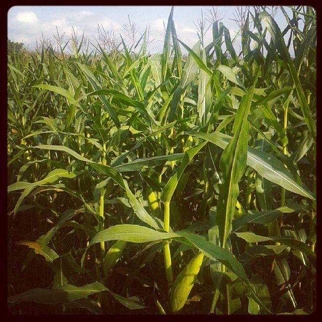 In the middle of corn field Corn Agriculture Travel Vacation Sentolo Wates Kulonprogo Jogja Yogyakarta INDONESIA Webstagram