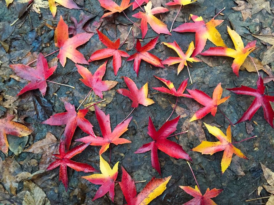 Colourful red and yellow autumn leaves on the ground Life Colors Fallen Leaves Colorful Yellow Red Forest Park Outdoors Nature Change Season  Ground Fallen Leaves Autumn Fall