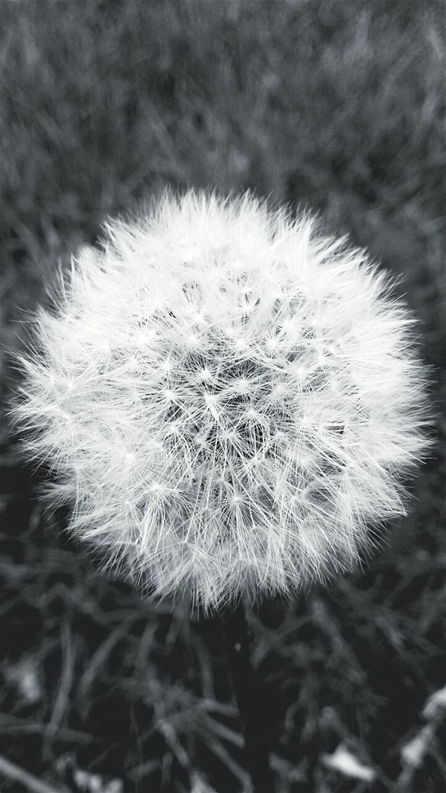 Dmuchawiec Nature Micro Nature Taking Photos Photography Monochrome Blackandwhite Check This Out Dandelion