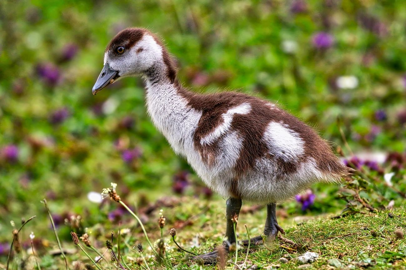 Egyptian Gosling Animal Themes Animal Wildlife Animals In The Wild Beauty In Nature Bird Close-up Day Field Full Length Gosling Grass Nature No People One Animal Outdoors