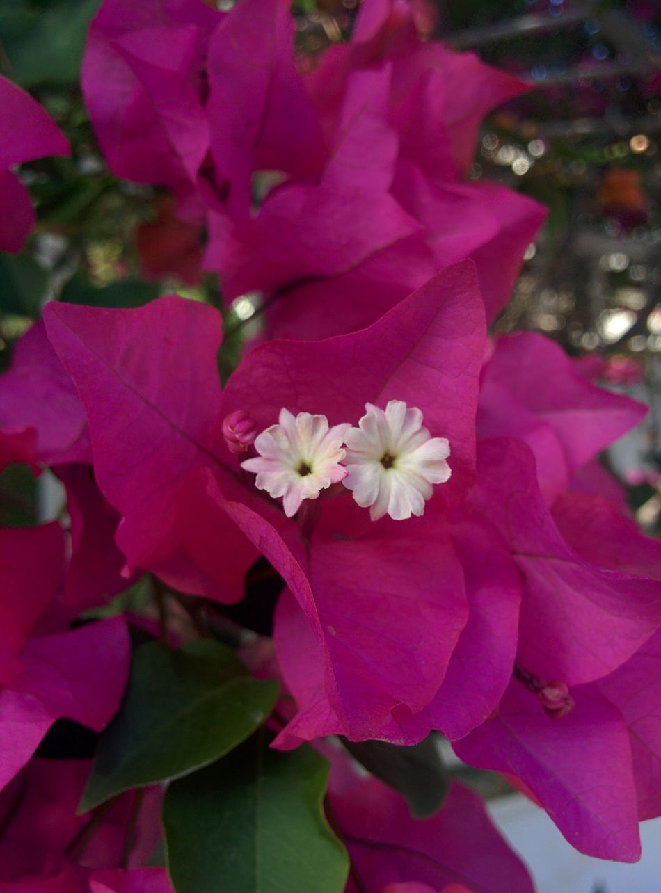 Tropical flowers. Bougainvillea Bougainvillea Flower Tropical Tropical Plants Tropical Flowers Flowers Pink Flower Beautiful Beauty In Nature Nature Nature Photography Beauty