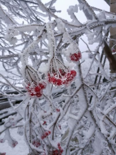 Winter Snow Cold Temperature Weather Frozen Red Nature