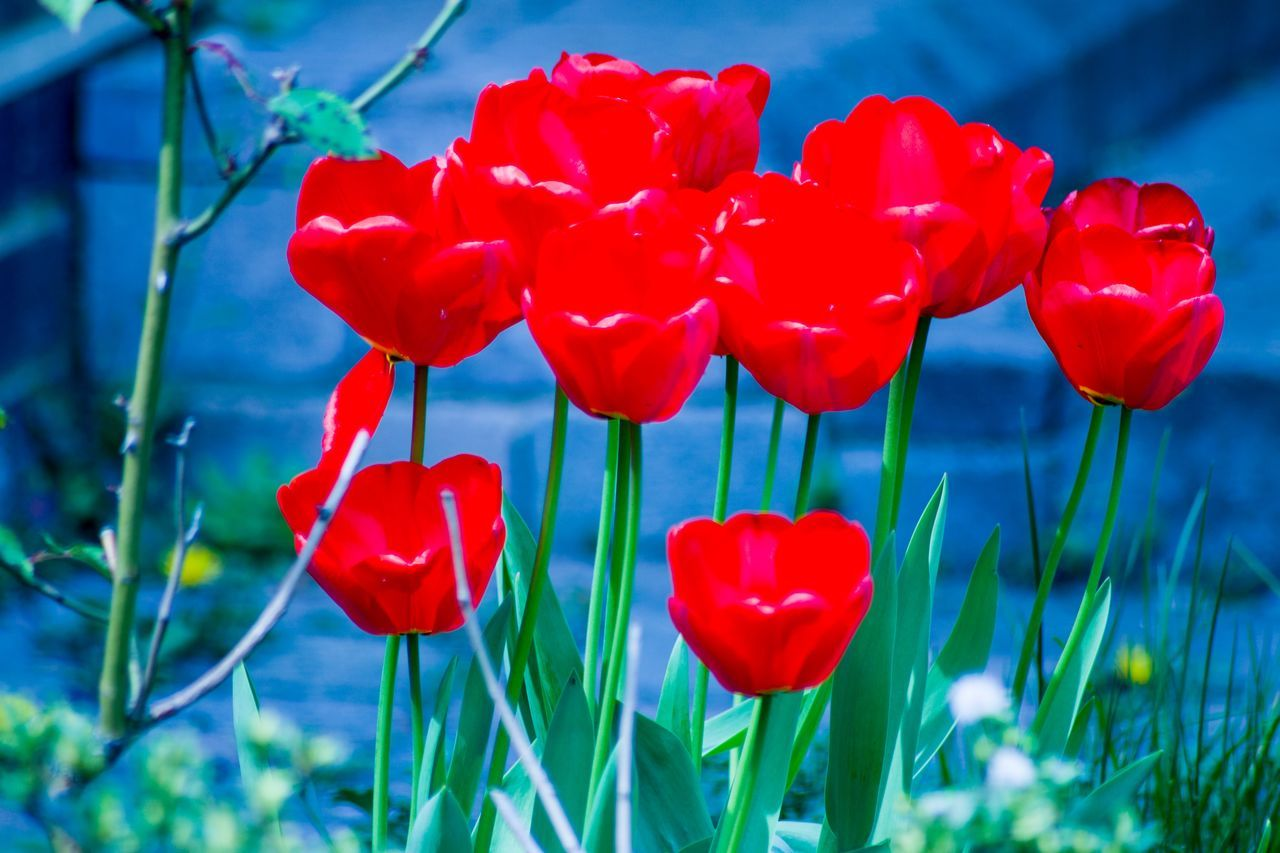 flower, red, petal, beauty in nature, nature, growth, freshness, fragility, plant, blooming, poppy, flower head, no people, spring, close-up, day, outdoors, sky