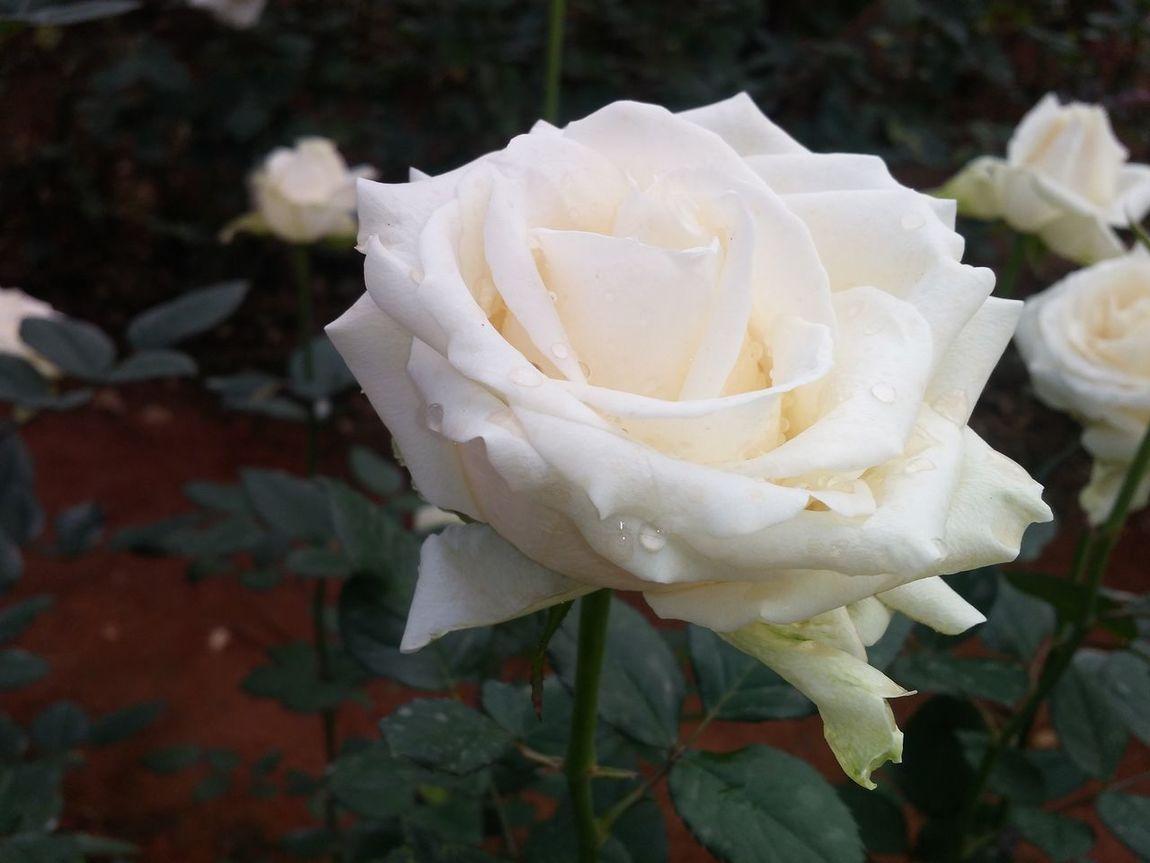 Beauty Of Flowers Rose🌹 White Roses Flower Plants 🌱