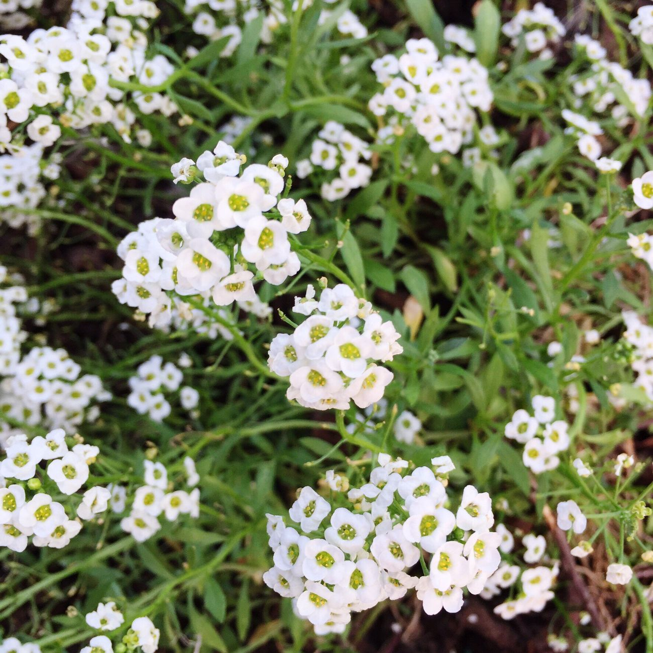 Little white flower 🌸🌸🌸 Flower Flowers LittleWhiteFlower Nature Backyard Garden Pretty 🌸🌸🌸