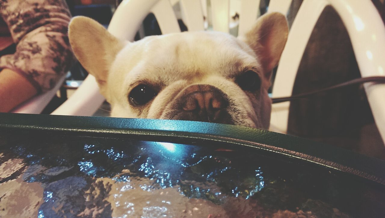 Franchbulldog Pets Pet From My Point Of View Cute Dog  Dog Playing With The Animals Creatures RePicture Love 鐵蛋