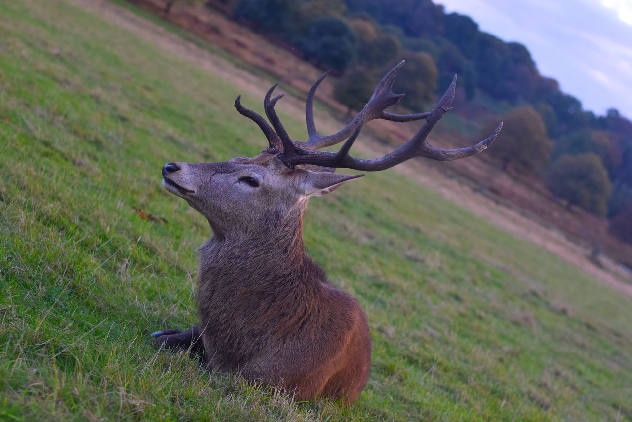 field, grass, deer, animal themes, antler, animals in the wild, nature, stag, day, outdoors, no people, animal wildlife, one animal, mammal, landscape, beauty in nature