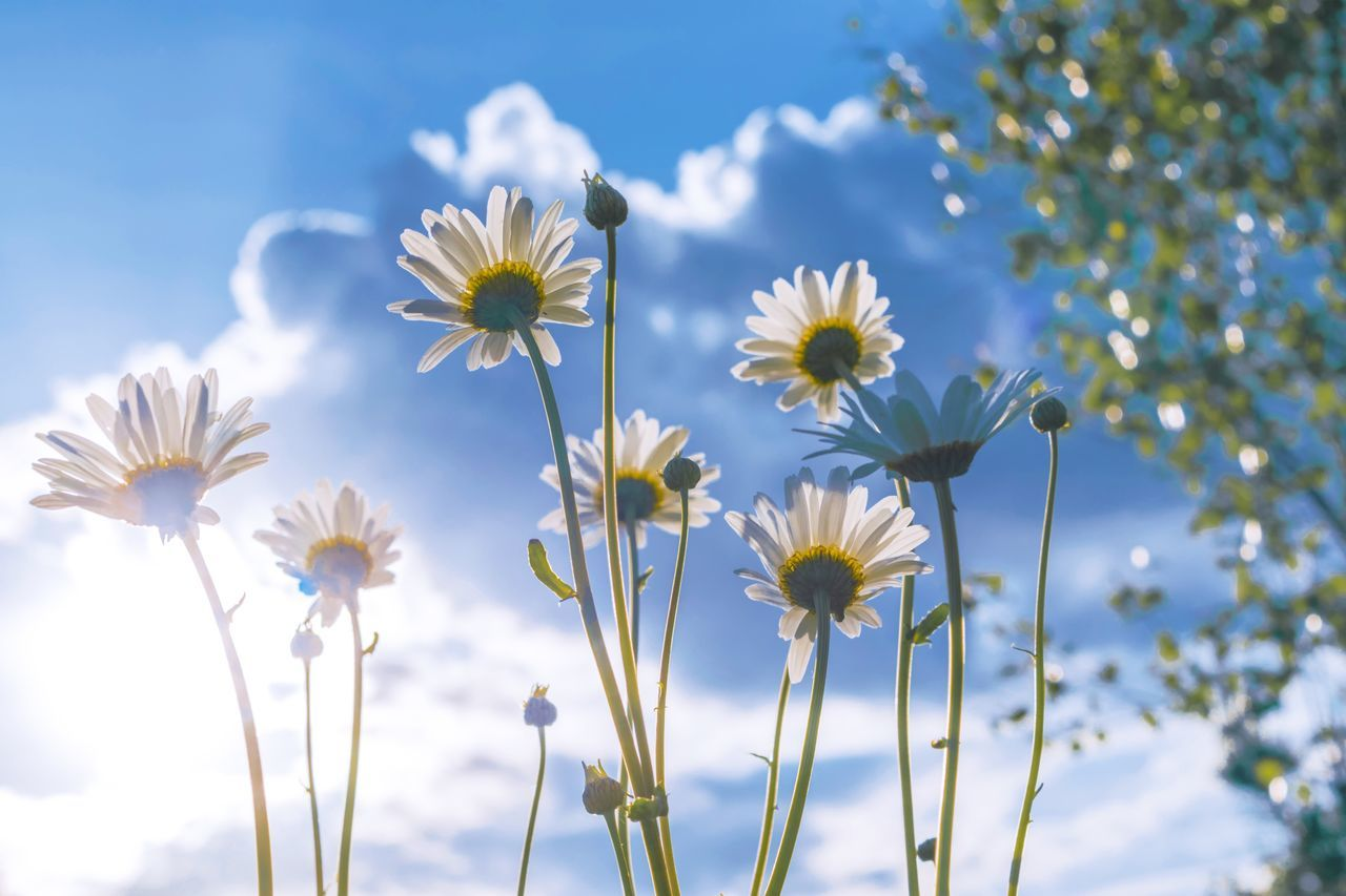 Flower Fragility Nature Growth Beauty In Nature Flower Head Petal Freshness White Color No People Plant Day Blooming Outdoors Close-up Sky