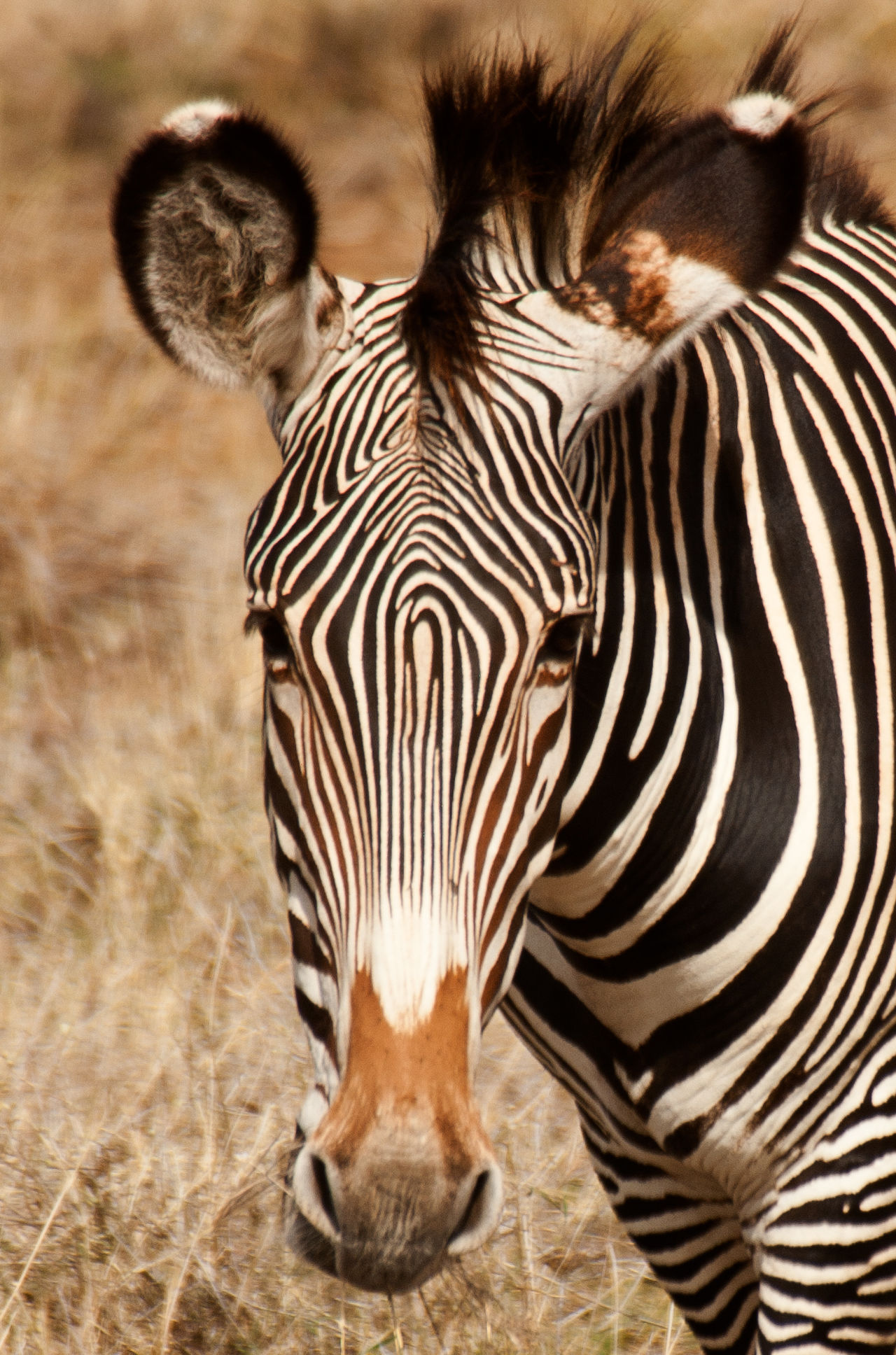 Africa Animal Themes Animal Wildlife Animals In The Wild Beauty In Nature Great Migration Mammal Nature No People One Animal Outdoors Safari Animals Serengeti National Park Tanzania Zebra