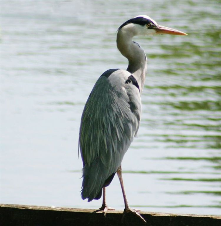 Heron at Watermead lakes
