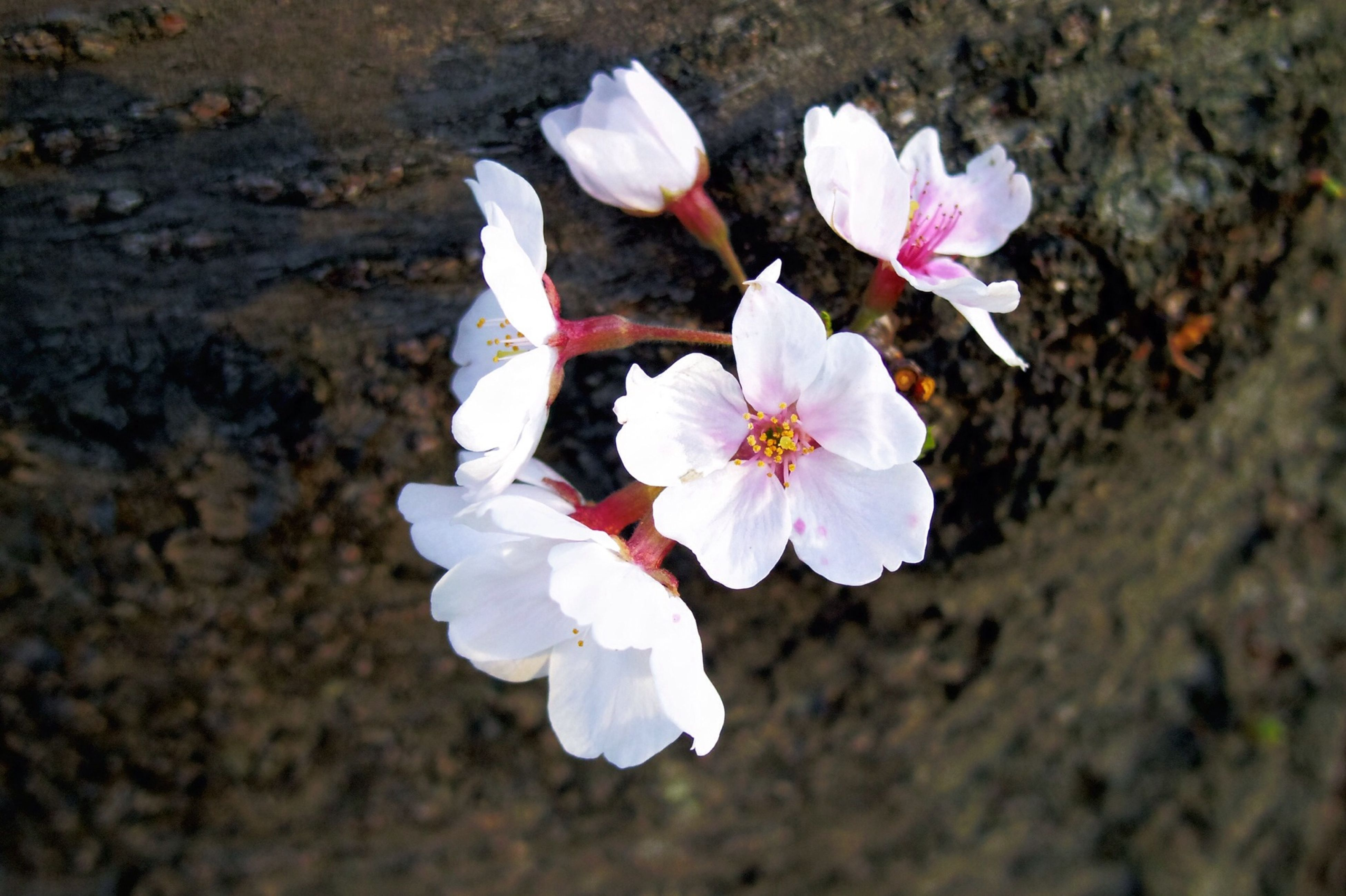 flower, petal, fragility, flower head, freshness, blooming, beauty in nature, high angle view, nature, growth, close-up, in bloom, pollen, pink color, white color, blossom, stamen, day, focus on foreground, no people