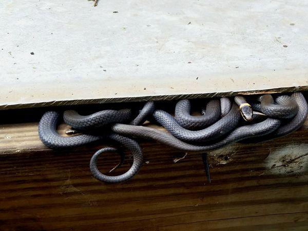 Northern Ringnecks. Snakes Snake Snakeskin Snake Eyes Snake Handler