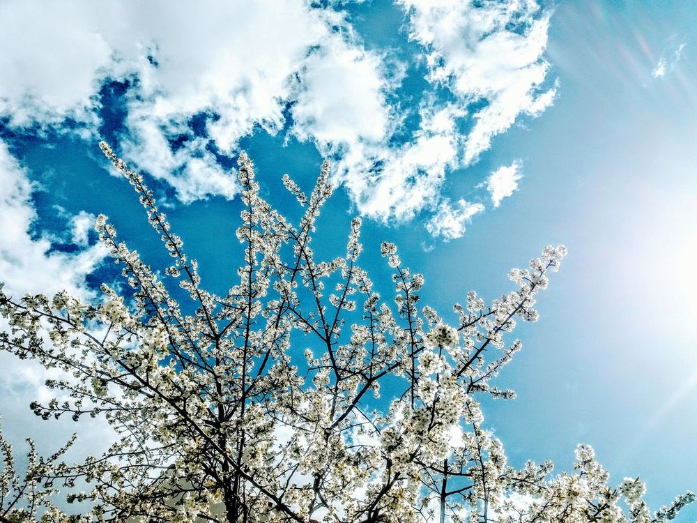 EyeEm Selects Spring Sky Sky Low Angle View Beauty In Nature Backgrounds Spring Sky With White Clouds And White Blossoming Tree Spring Background White Color Close-up Blue Nature Joy Of Life Relaxing