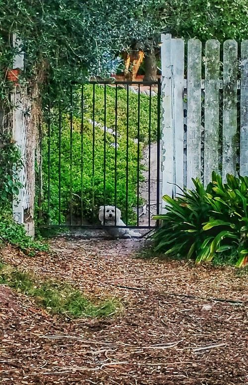 My almost white dog 😀 Summer White Dog White dog Small Dog A Small Dog garden gardening Santa Barbara Relaxing lonely Love ♥ Lovely dog