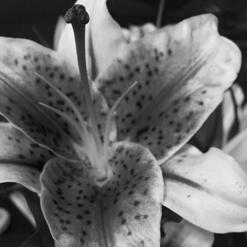 Stargazerlilies Blackandwhite Flower EyeEm Best Shots Eyemnaturelover Eye4black&white
