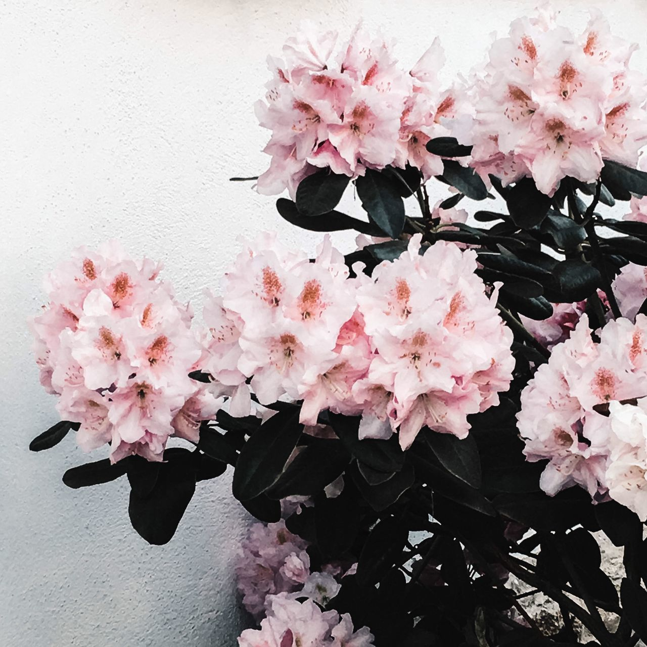 Flower Pink Color Fragility Beauty In Nature Petal Nature Blossom Blooming Plant Freshness Flower Head Outdoors Flowers Flower Collection Flowers,Plants & Garden Flowers, Nature And Beauty VSCO