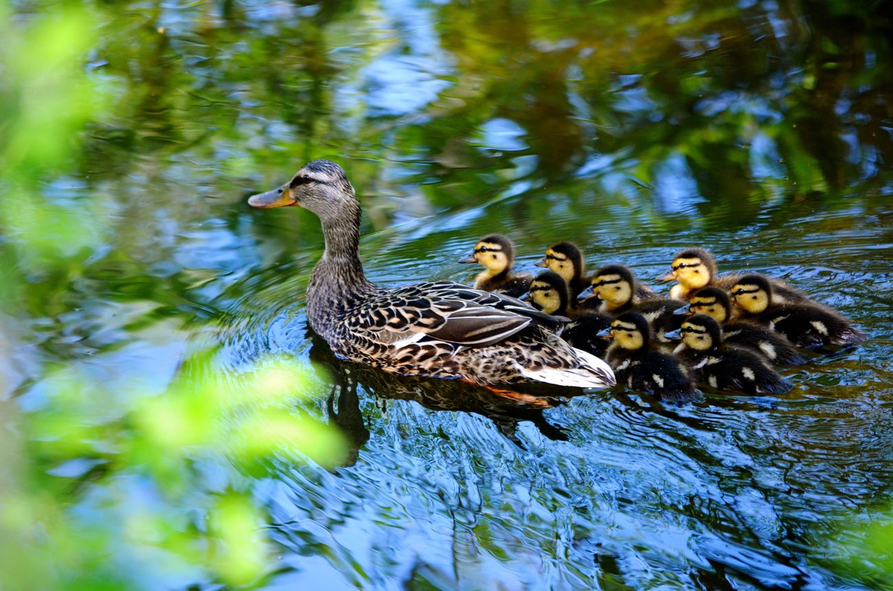 Appreciating all moms❤ Bird Animal Themes Animals In The Wild Water Animal Wildlife Nature Lake Duck Swimming Young Bird Water Bird Young Animal Day No People Outdoors Beauty In Nature Togetherness Beauty In Nature Ducklings Mother Duck Mothers Day :)
