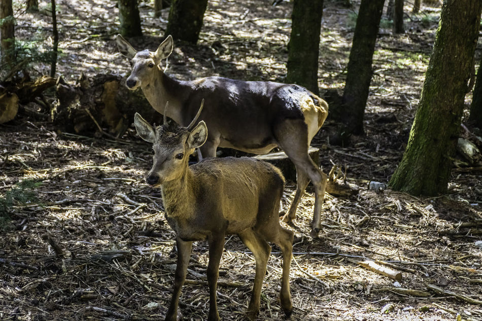 deer family.. Animal Themes Animals In The Wild Day Deer Deers Forest Greece Mammal Nature No People Outdoors Parnitha Parnitha Mountain Standing Togetherness Tree Young Animal