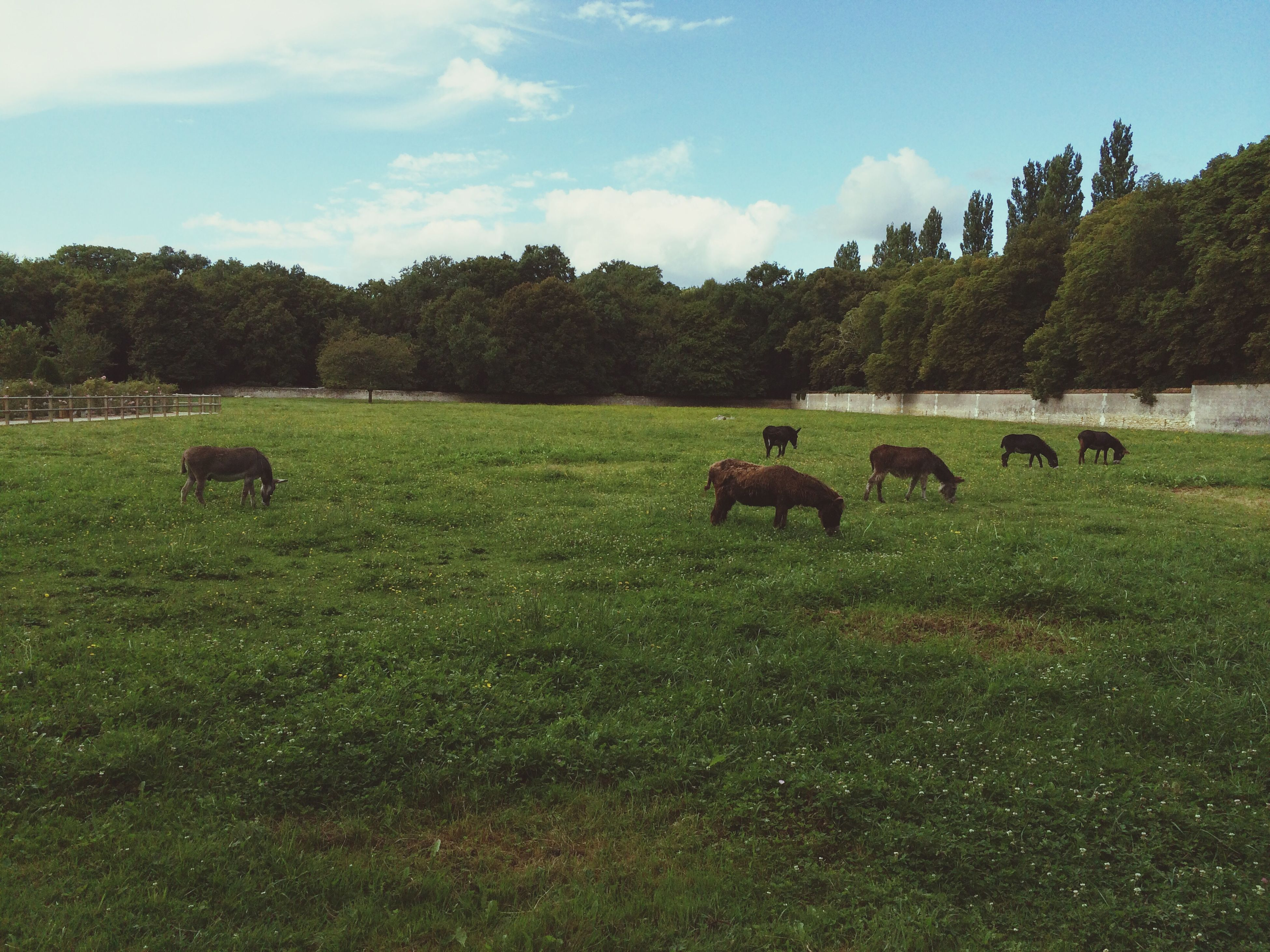 animal themes, grass, field, tree, grazing, mammal, livestock, landscape, grassy, domestic animals, green color, sky, wildlife, nature, animals in the wild, herbivorous, medium group of animals, pasture, tranquility