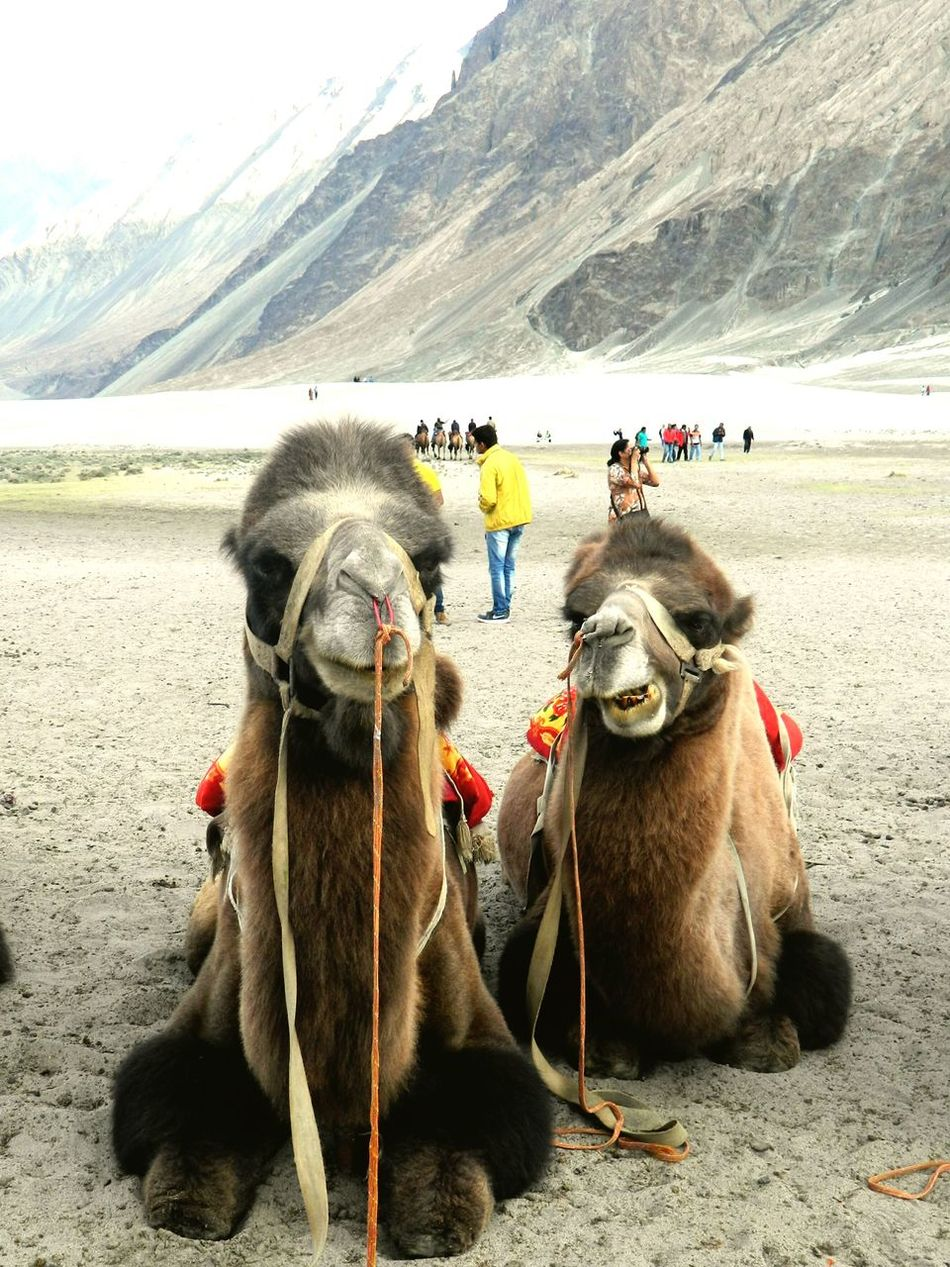 It feels like their saying dudesssss...haha We Love Camels! Camel Riding Leh Animal_collection Eye4photography  Vacation Time EyeEmBestPics Service Animals
