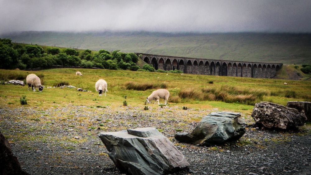 Animal Themes Beauty In Nature Cloud - Sky Day Domestic Animals Field Grass Grazing Green Color Growth Landscape Livestock Mammal Nature No People Outdoors Pasture Ribbleheadviaduct Scenics Sky Tranquility Tree Viaduct
