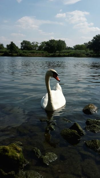 Swanriver White Swan Swan Swans ❤ Labud Swan Lake Swans Swan River River Swanlake