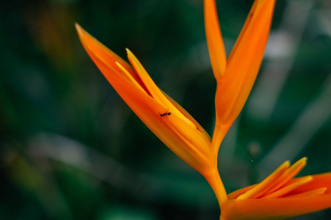 Africa Ant Bird Of Paradise - Plant Bokeh Close-up Depth Of Field Flower Flower Head Green Color Nature Orange Color Outdoors Plant Yellow