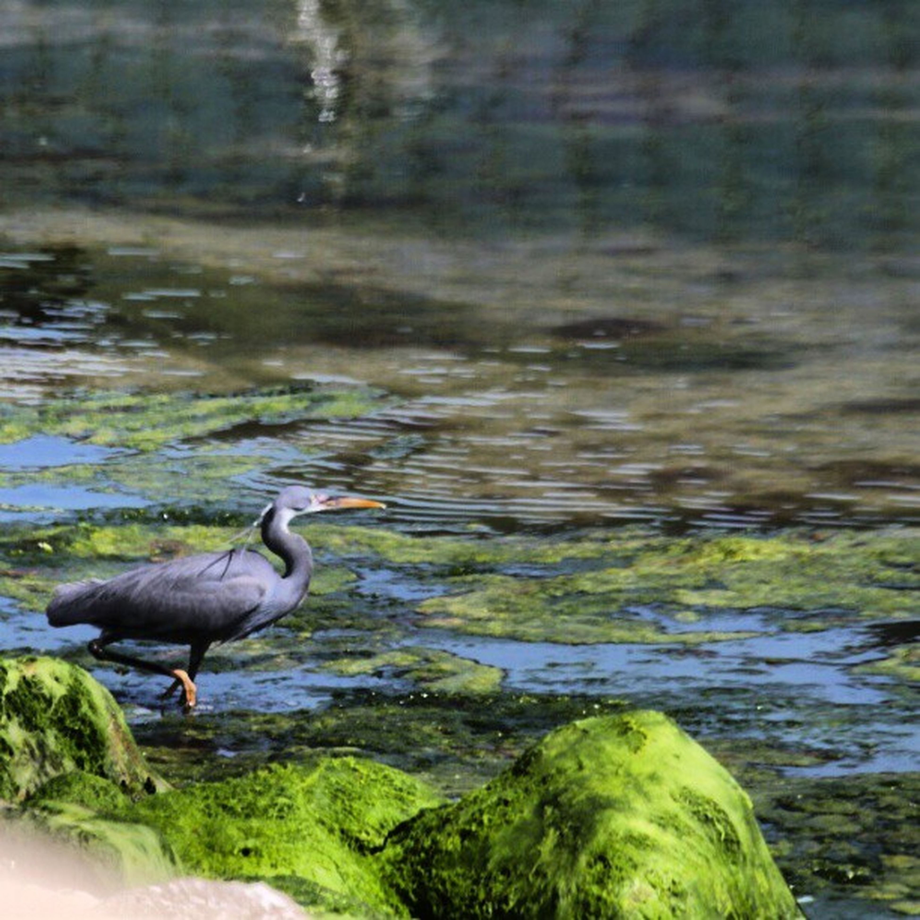 animals in the wild, animal themes, bird, wildlife, water, lake, nature, duck, two animals, one animal, beauty in nature, swimming, outdoors, rock - object, day, side view, beak, no people, reflection, mallard duck