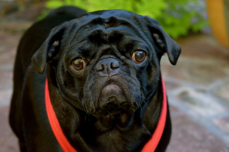 #pugs Animal Eye Animal Themes Black Color Black Dogs Black Pug Close-up Dog Domestic Animals Front View No People One Animal Pets Snout