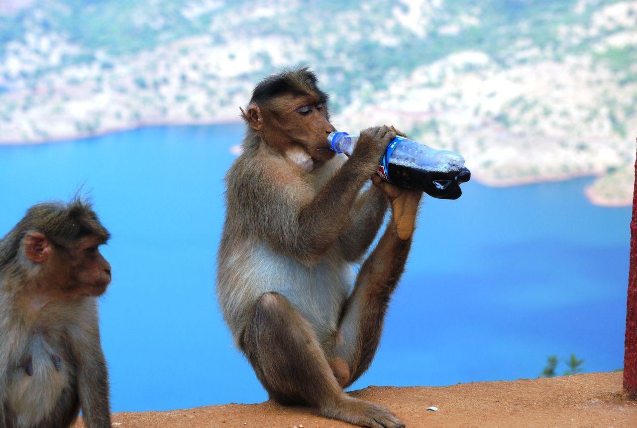 Beautiful stock photos of monkey,  Animal Themes,  Animal Wildlife,  Animals In The Wild,  Blue