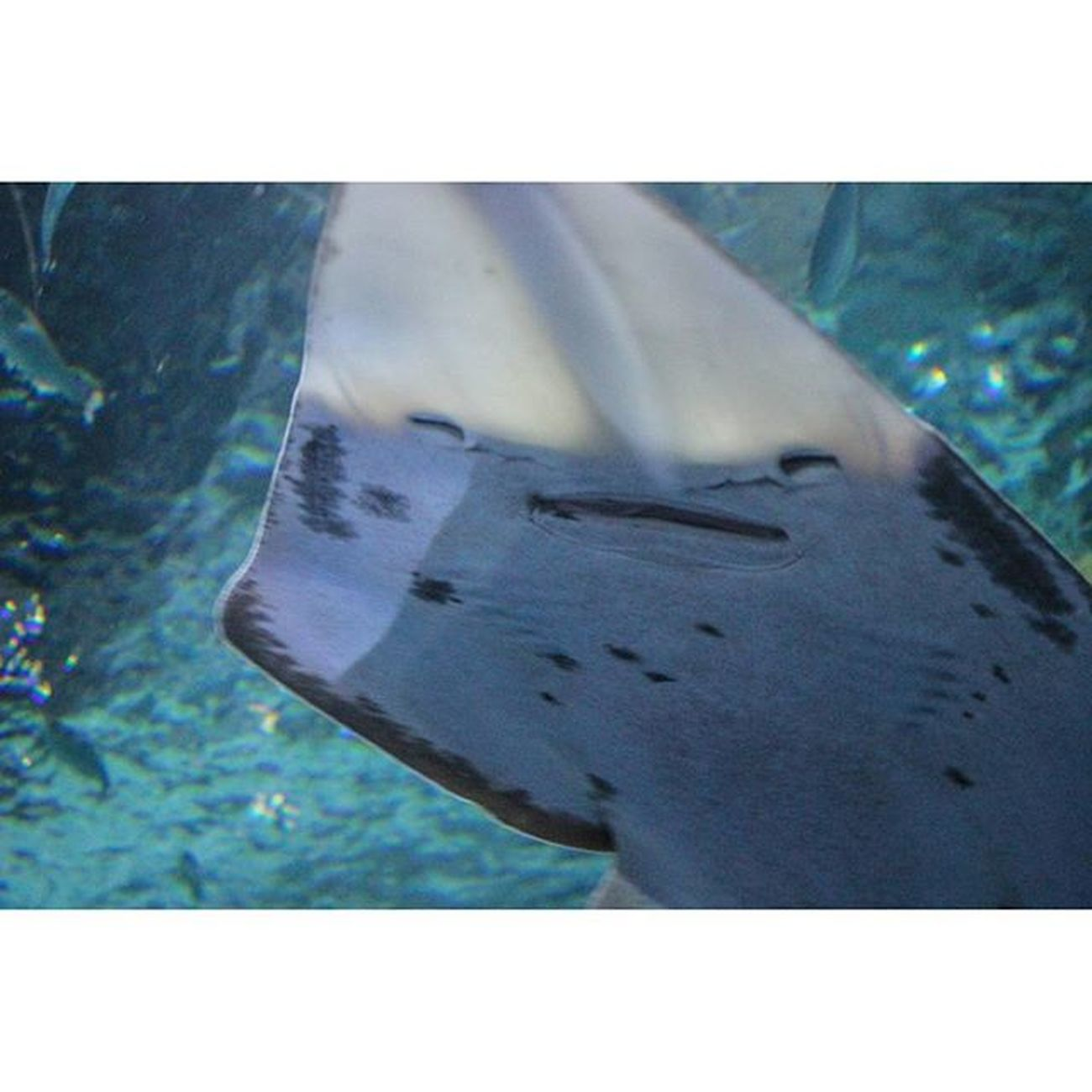 The happiest sting ray I've ever seen 😁 Blueplanetaquarium Stingray Cute Smile Aquarium Sealife
